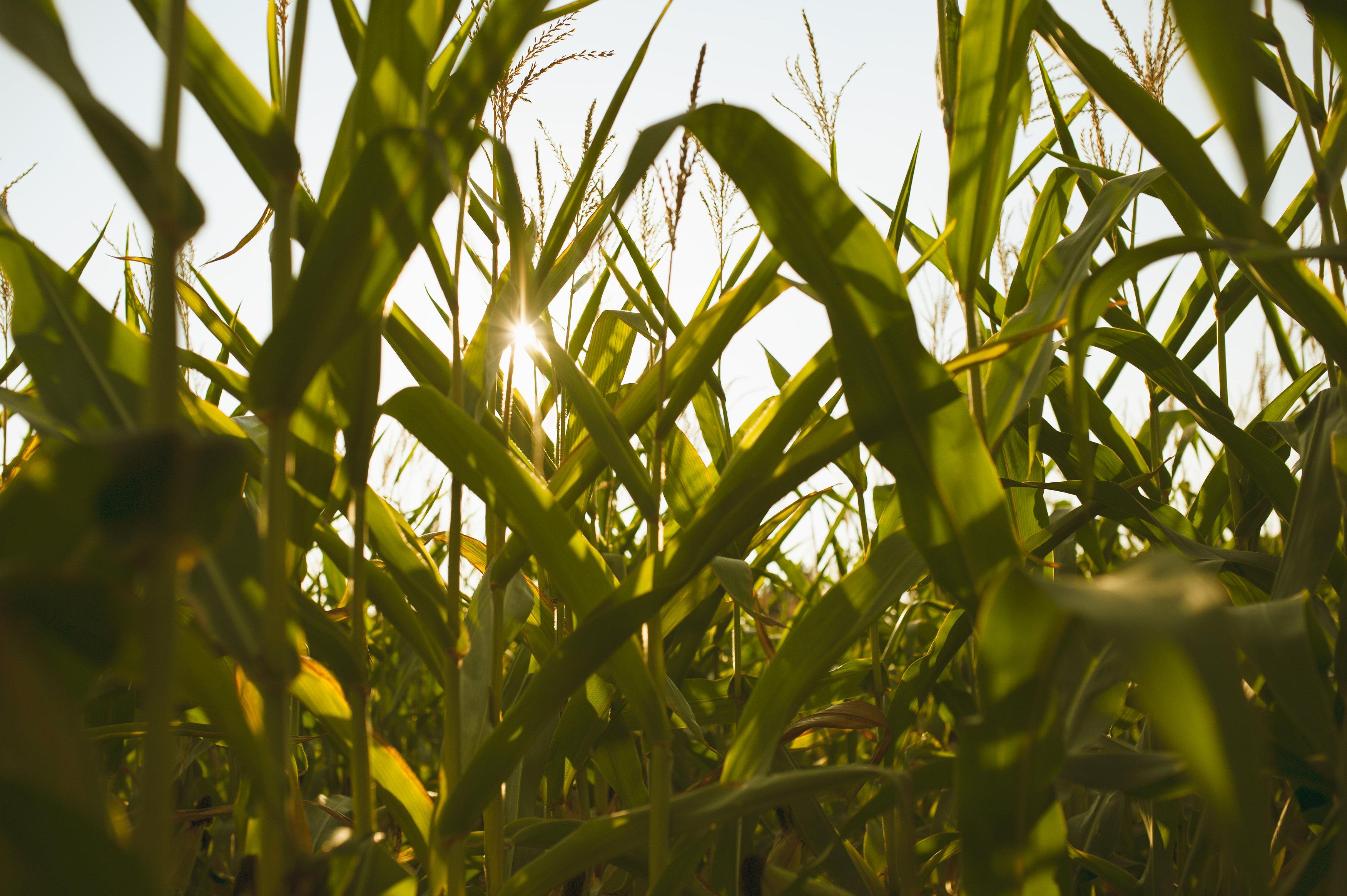 Robinette Corn Maze